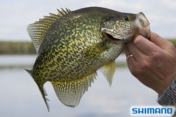 Southern fried crappie